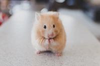 assurance-hamster