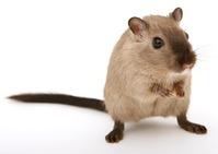 assurance-rat